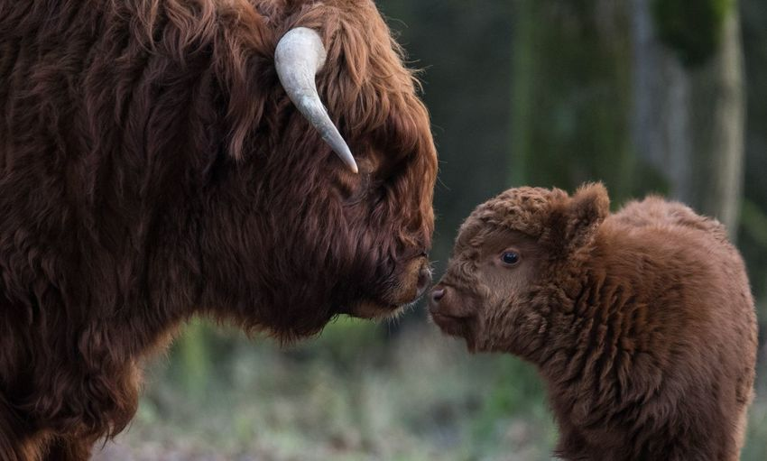 Side view of highland cattle and calf on field