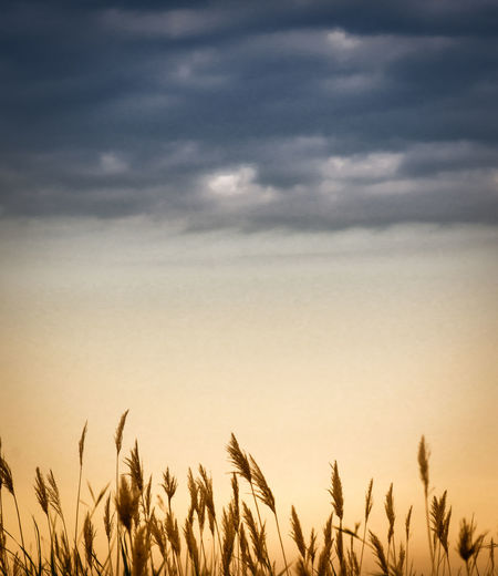 Agriculture Beauty In Nature Cereal Plant Cloud - Sky Corn Crop  Environment Field Growth Land Landscape Nature No People Oat - Crop Outdoors Plant Rural Scene Scenics - Nature Sky Tranquil Scene Tranquility