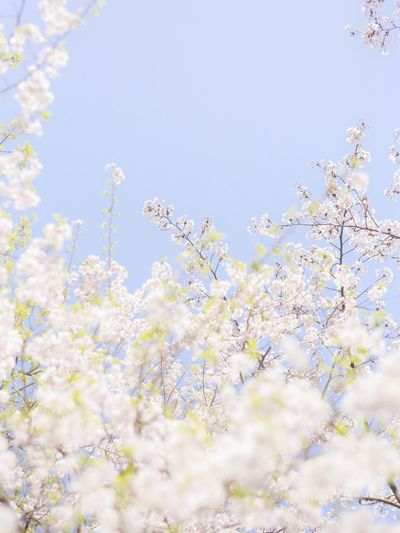 Flowering Plant Plant Flower Fragility Beauty In Nature Vulnerability  Freshness Sky Low Angle View Springtime Growth Nature Blossom Day Close-up Outdoors Clear Sky