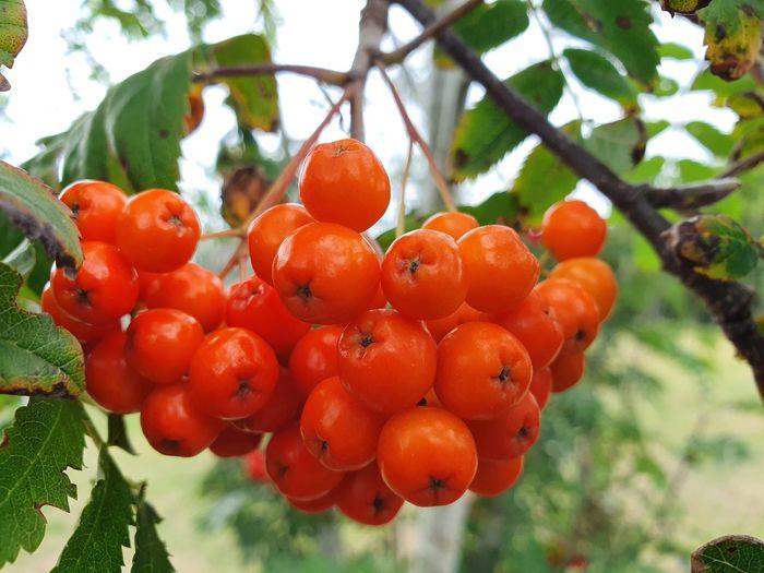 Tree Fruit Red