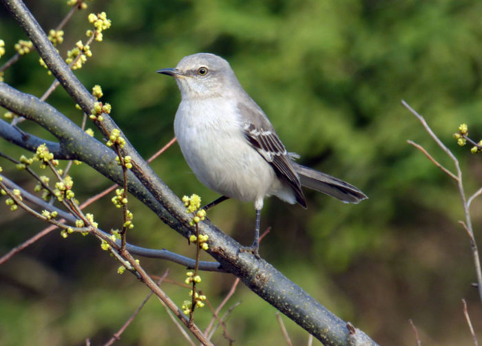 Alert Animal Themes Animals In The Wild Avian Collection Beak Beauty In Nature Bird Branch Close-up Day Early Spring 2016 Focus On Foreground Full Length Looking Away Low Angle View Mockingbird Nature No People On Duty ! One Animal Outdoors Perching Selective Focus Side View Wildlife