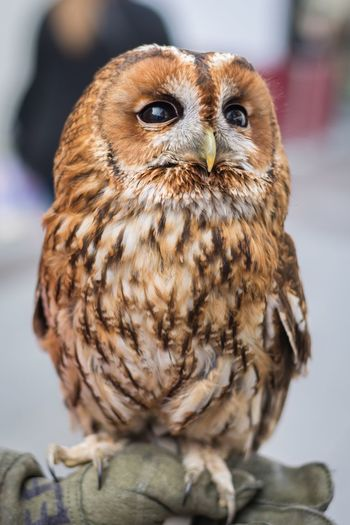 Twit-twoo! Bird Owl Animal Wildlife Close-up Beauty In Nature Portrait One Animal Animal Themes Outdoors Kent England Nikon Check This Out EyeEm Nature Lover Photooftheday Flying Bird Of Prey Animals In The Wild