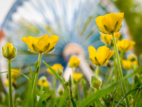 Beauty In Nature Blooming Buttetcups Close-up Daffodil Day Field Flower Flower Head Focus On Foreground Fragility Freshness Garden Growth Horticulture In Bloom Nature Old Mineworks Outdoors Petal Plant Springtime Stem Vibrant Color Yellow