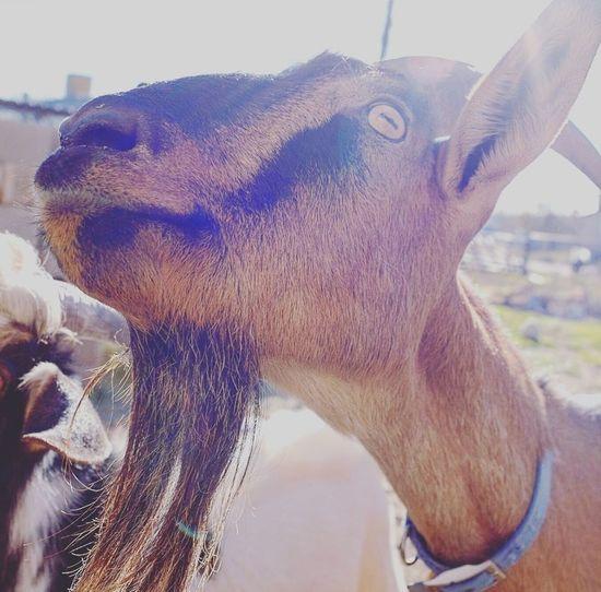 Outdoors Goat Bessie the Milk goat.