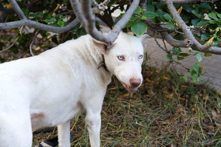Killer eyes.. 😘 The Week on EyeEm Dog EyeEm Gallery EyeEm Best Shots EyeEm Animal Lover Albino Husky Canarias Blue Eyes AdoptedDog EyeEm Selects Tree Branch Portrait The Traveler - 2018 EyeEm Awards
