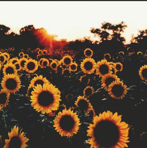 Nature Outdoors No People Beauty In Nature Flower Head Fragility Sunflowers🌻 Sunset Yellow Light Orange Sky Floweryseason Growth Landscape