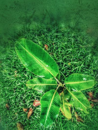 Tree On The Ground Banana Tree Beauty Of Nature Sapling Sapling Tree Tree Photography Tree_collection  Green Color Nature Leaf Leaves
