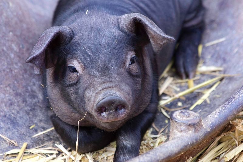 Piglet Pig Head Ears Snout Farm Life Farm Animal Natural World Nature Straw One Piglet Lovable Sweet Cute Black Pig  Baby Pig Piglet Vertebrate Mammal One Animal Pig Domestic Animals Animal Wildlife Domestic Close-up Looking At Camera Animal Body Part Livestock A New Beginning