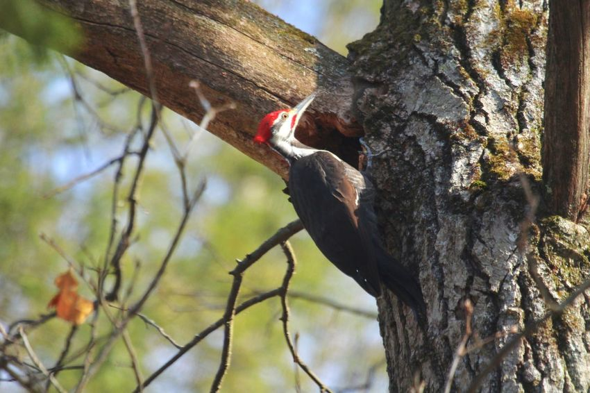 Woodpecker In Tree Pileated Woodpecker Tree Day Low Angle View Tree Trunk Trunk