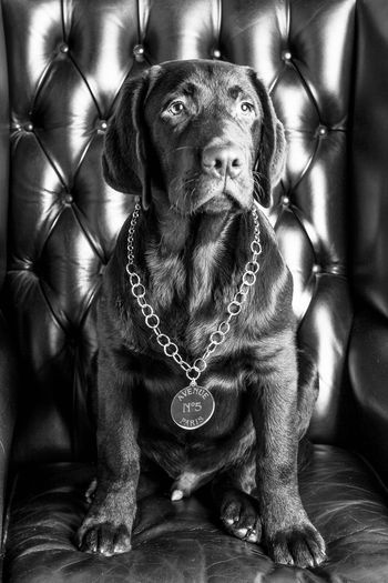 Dog Wearing Chain While Sitting On Chair