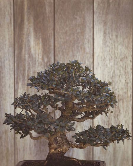 Christmas Christmas Tree No People Christmas Decoration Celebration Indoors  Close-up Pinaceae Table Tree Wood - Material Plant Christmas Ornament Day Nature Bonsai Tree Nature Garden Growth