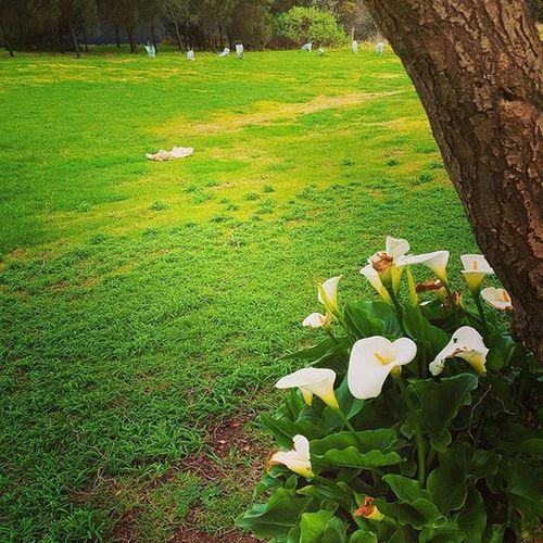 Farm Flowers Lilly Beautiful Colour white cold green likeforlike s6edge dubai australia