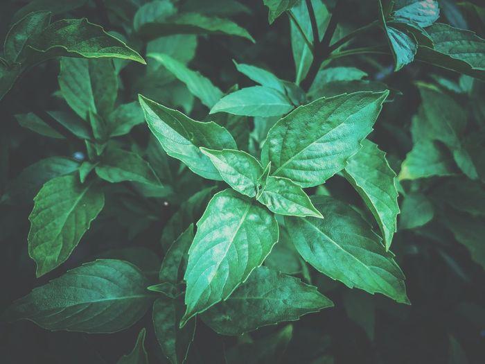 Fresh organic basilic leaves in garden