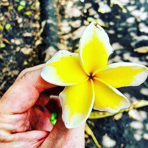 Hawaii Plumeria Quintaflower Myheartinshots