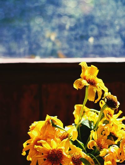 Flower Close-up Nature Fragility Plant Flower Head No People Backgrounds Day Beauty In Nature Freshness BYOPaper! Live For The Story Blue Bokeh Bokeh Color Theory  Sunflower Sunny Joy Yellow Vibrant Life Hope Paint The Town Yellow