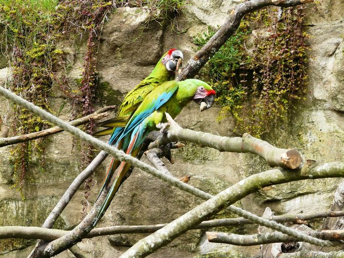 "Scenic photography of PROTECTED tall Macaws - Shot shoot of 2008 Two ARA Ambiguus "" No Militaris "" / Copyright C-H to market EyeEM for Use. Ara Ambiguus Ara De Buffon Beak EyeEmNewHere Great Green Macaw Green Old Couple Parrot Love Rock Rope Wood Animal Themes Ara Beauty In Nature Bird Bird Playing Couples Shoot Lichen On A Rock Macaw Parrot Parrot Bird Parrots Parrots Of Eyeem Zoology Aras"