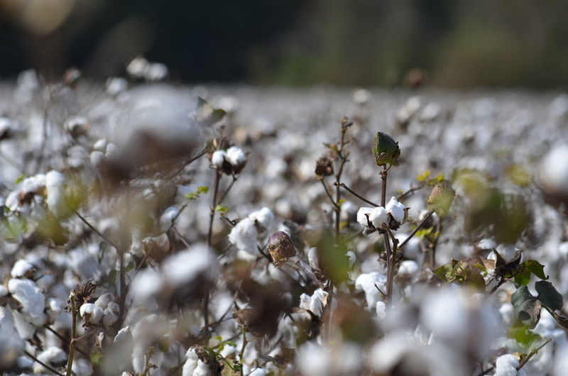 Close-up of cotton plants growing on field