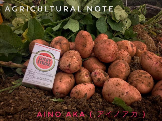 Agricultural Note : Harvest Time Working Time Field Work Japanese Potato Aino Aka. Made in Nagasaki prefecture IPod Touch Photography Agriculture Photography Low Position 33mm today's 1st shot de Goood afternoon
