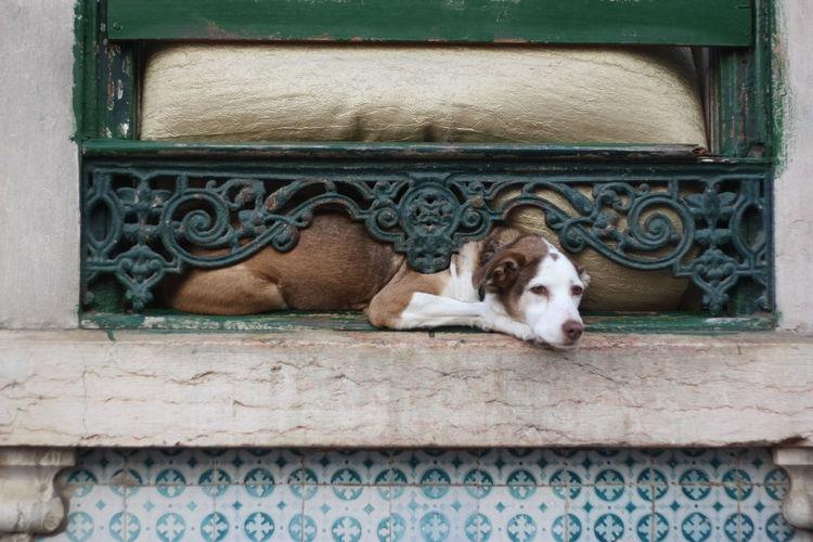 Animal Themes Dog Doggy DogLove Lifeinlisbon Lisbon Lisbondogs Pets Resting