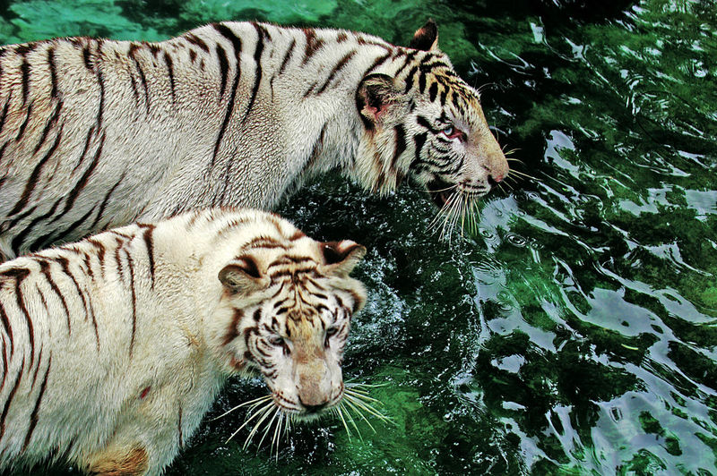 Tiger in water with beacground green Tiger, Wild, Animal, Nature, Cat, Illustration, Wildlife, Mammal, Predator, Head, Design, White, Background, Vector, Danger, Art, Beautiful, Hunter, Carnivore, Isolated, Face, Black, Striped, Graphic, Power, Symbol, Fur, Bengal, Zoo, Feline, Portrait, Tat Animal Markings Lioness Captive Animals Cat Family Feline Undomesticated Cat Leopard Lion Carnivora Lion Cub Cheetah Butterfly - Insect Domestic Cat Whisker Sleepy Threatened Species Zoo Zebra Big Cat Lion - Feline Masai Mara National Reserve Kitten Yellow Eyes Tabby Stray Animal Persian Cat  Cub Cat Ginger Cat