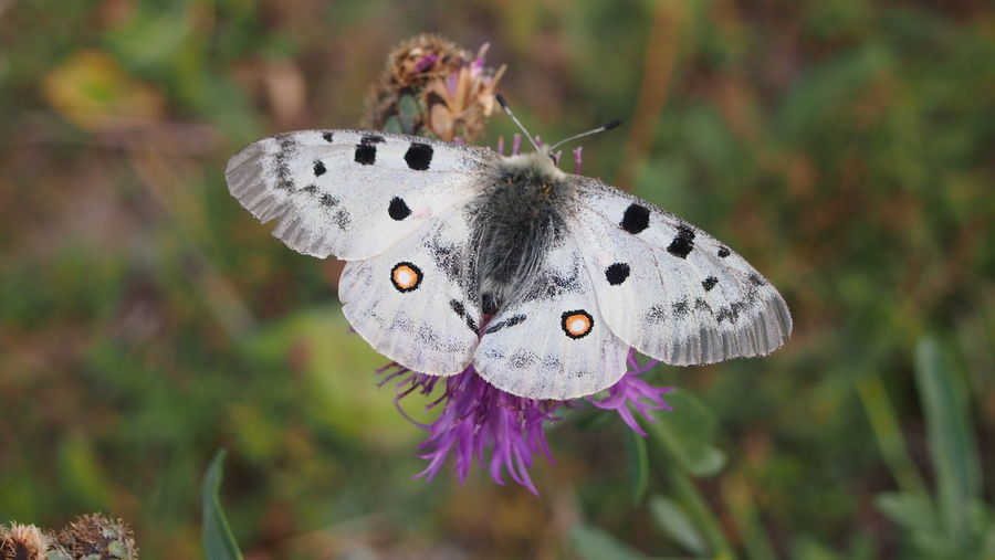 Nature Photography Butterfly White Close-up No People One Animal Parnassius Apollo Spread Wings