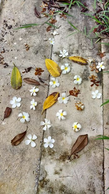 No People Outdoors Leaf Day Nature Close-up Frangipani Flower Fall Leaves White Color Gray Color Concrete Fall Flowers White Flowers Dry Leaves High Angle Grass Green Grass Yellow Color L