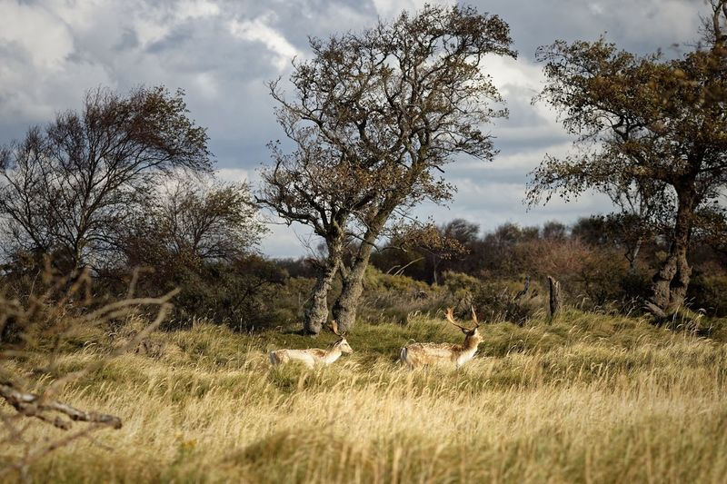 Bucks Stag Party Dunes Of Holland Fallow Deer Deer Plant Tree Sky Field Nature Land Growth Cloud - Sky Beauty In Nature Landscape