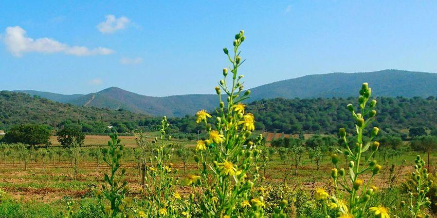 Toskanische Landschaft Landscape Beauty In Nature Plants Outdoor Field Agriturismo Yellow Flowers