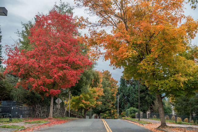 Autumn colors in a Burien, Washington neighborhood. Autumn Burning Paciifc Northwest Tree Autumn Beauty In Nature Day Fall Growth Leaf Nature No People Outdoors Red Rich Colors Season  Tranquility Tree