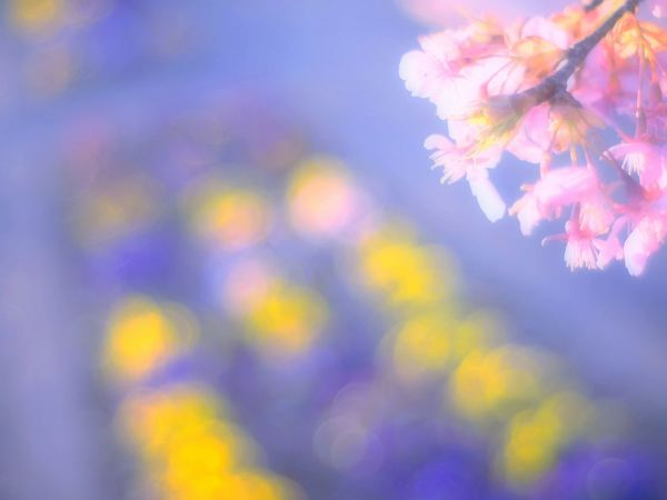 Showcase March Relaxing Taking Photos Airy Flowers Colorful Blossom Pink Airy Bokeheffect Spring Time Spring EyeEm Flower EyeEm Nature Lover 梅 Plum Bokeh Takumar Spring Colours Colors Dreamfantasy
