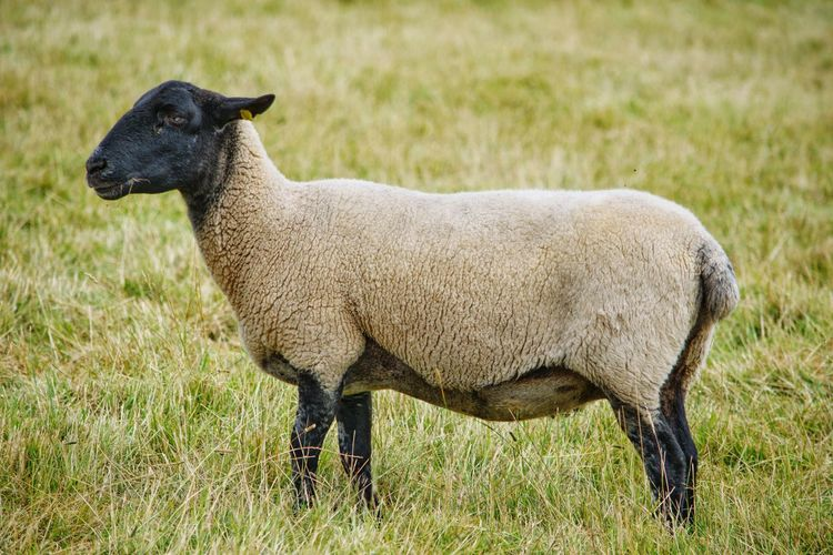 Side view of a sheep on field