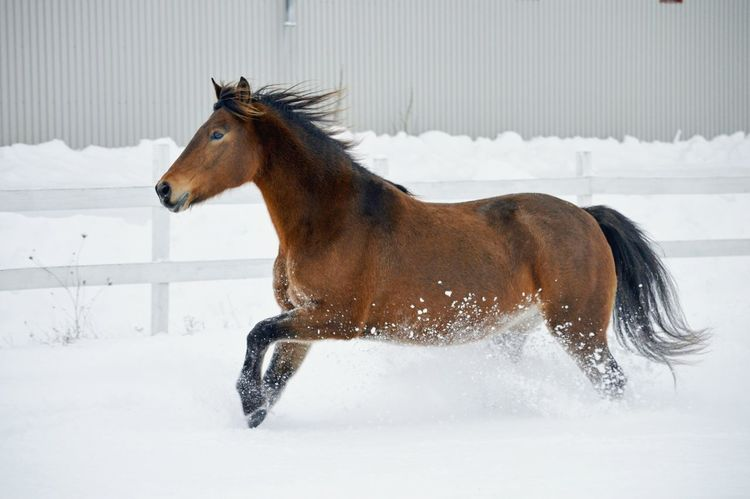 One Animal Snow Cold Temperature Winter Season  Weather Side View Horse Animal Equine Photography Equine Nikonphotography Nikon D3200 Nikon Bay Horse Action Gallop No People Happy Buckskin