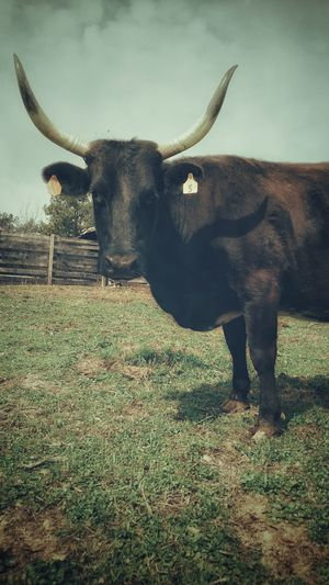 Cattle Ranch Corrientes Long Horns Vintage Ferdinand Grass No People Outdoors Nature Day Mammal Animal Themes EyeEmNewHere