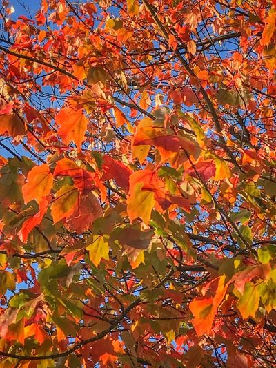 Fall Multi Colored Orange Color Autumn Tree Plant Part Change Backgrounds Beauty In Nature Leaf Full Frame No People Nature Scenics - Nature Sunlight Tranquility Red Day Plant Branch Outdoors