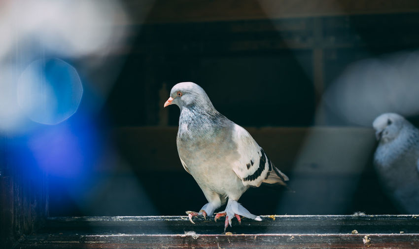 Portrait of a specific pigeon in a cage. close image of beautiful pigeons of a different kind.