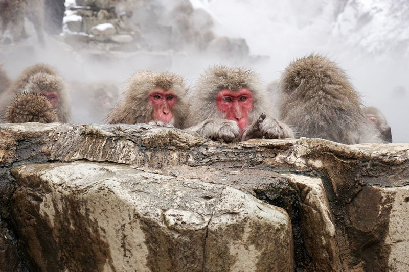 Close-up of monkey on snow and hot spring