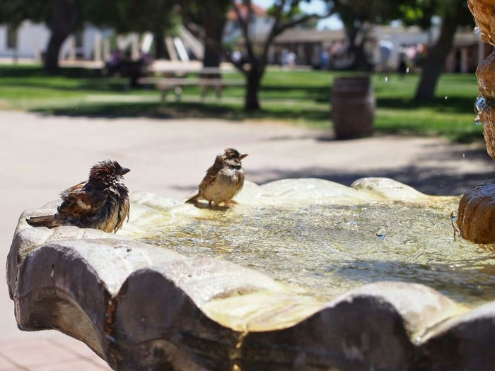 Sparrows Birds Nature Summer ShowerTime Enjoying Life Hello World Travel San Diego Cute♡