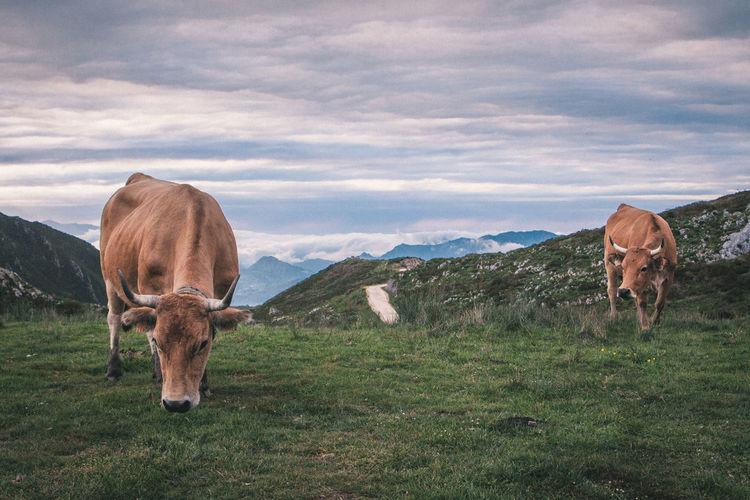 Sheep grazing on grassy field