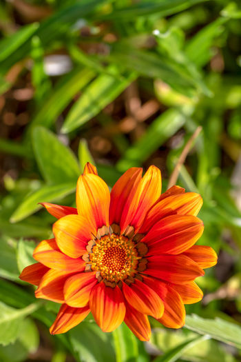 Flowering Plant Flower Fragility Freshness Plant Vulnerability  Petal Flower Head Inflorescence Beauty In Nature Growth Close-up Orange Color Nature Pollen Focus On Foreground Day No People Red Gazania Outdoors