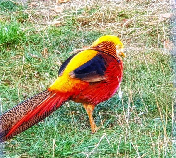 Grass Bird