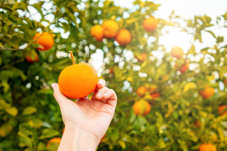 Italy Sicily Food And Drink Food Healthy Eating Fruit Hand Orange Color Human Hand Freshness Human Body Part Wellbeing Tree Plant Citrus Fruit Holding Orange Tree Growth Orange One Person Orange - Fruit Nature Ripe Outdoors Organic Finger