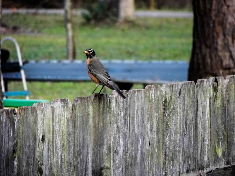 Sitting outside enjoying my morning coffee and a strong studded bird lands upon the wooden fence. What a beautiful stance he has perched upon that fence top indeed. The American Robin posing. American Robin Animal Themes Animal Wildlife Animals In The Wild Beak Beauty In Nature Bird Day Daytime Fence Focus On Foreground Nature No People One Animal Outdoors Perched Bird Perched On Top Perching Spring Springtime Water Wings Wood Wood - Material