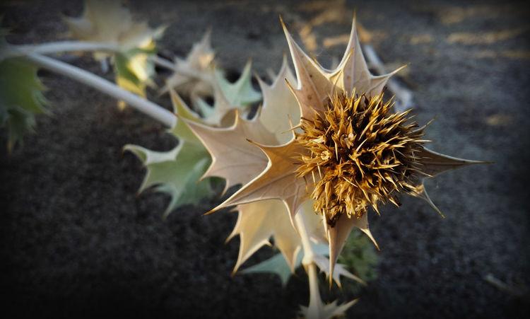eryngium maritimum #EyeEmEsterlinda #italy #summer #beach Beauty In Nature Botany Flower Nature No People Plant Single Flower Tranquility