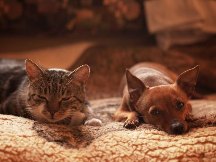 View of cat and dog resting on rug