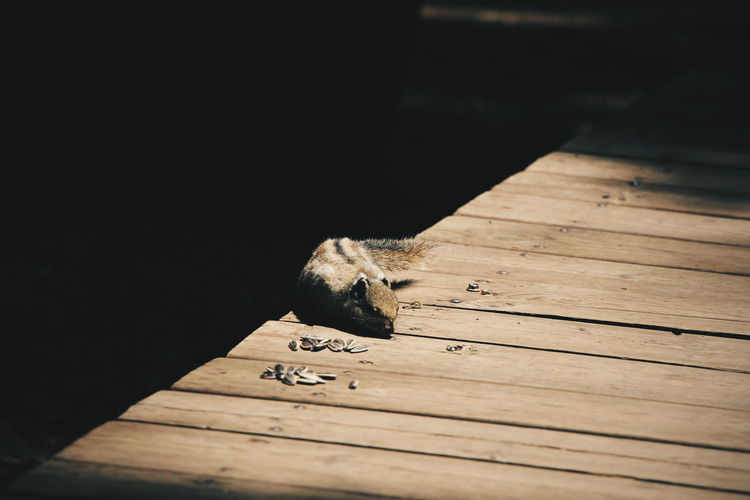 Squirrel on wooden plank