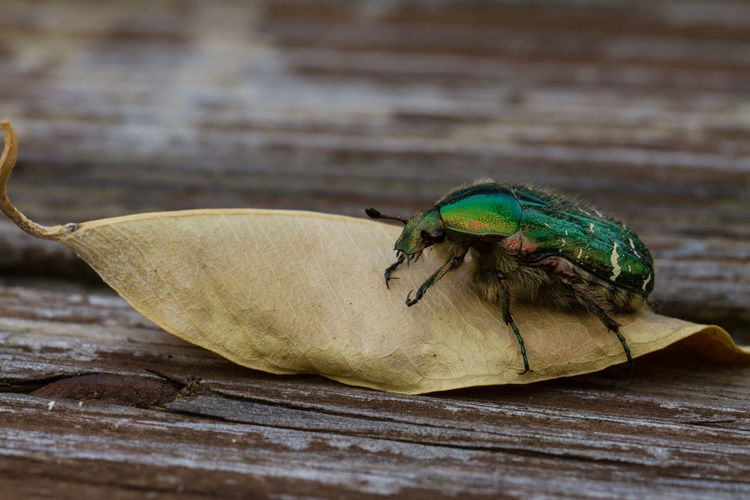 Close-up of beetle on leaf over table
