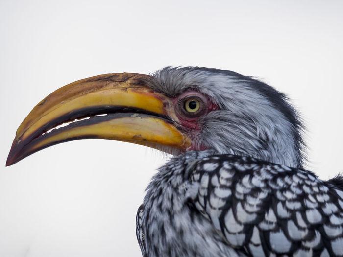 Close-up portrait of hornbill bird against white background, botswana, africa