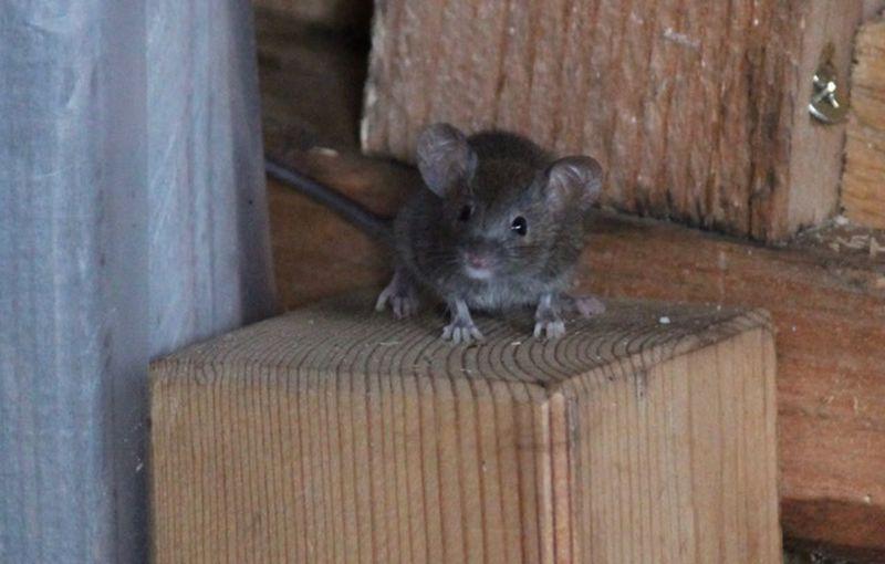 Mouse Animal Themes Animal Mammal One Animal Rodent Wood - Material Animal Wildlife