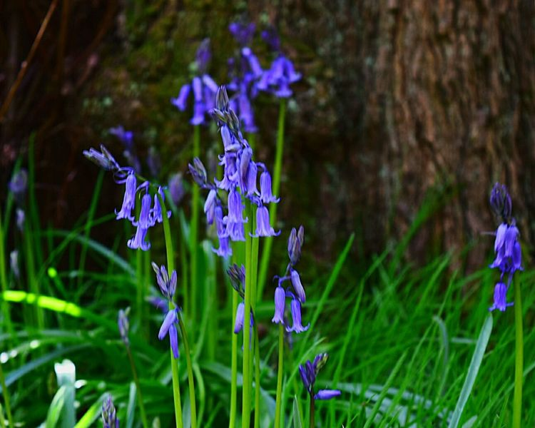 Bluebells in the woods Nature_collection Blooming Nature NIKON D5300 Beauty In Nature Life Though The Lens Nature On Your Doorstep Nature_ Collection  EyeEm Flowers Collection Focus On Foreground Stoke-on-Trent England, UK In The Woods Barlaston Taking Photos My Own Photography