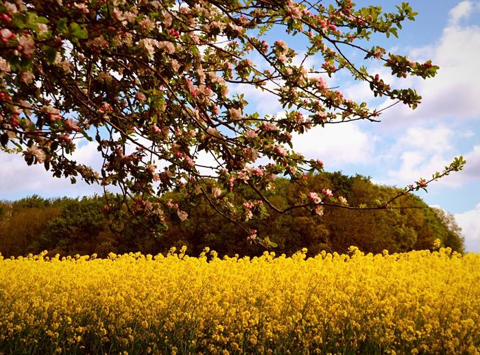 Spring time Flower Growth Nature Beauty In Nature Apple Blossom Cherry Blossoms NRW Life Field Blue Sky Yellow Rural Scene Agriculture Sky No People Field Tranquility Outdoors Fragility Scenics Day Tranquil Scene Freshness Mustard Plant